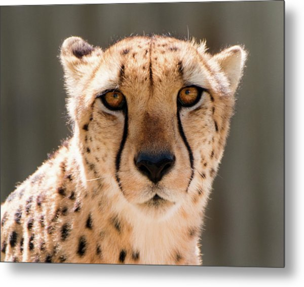 Metal Print featuring the photograph Cheetah by Philip Rodgers