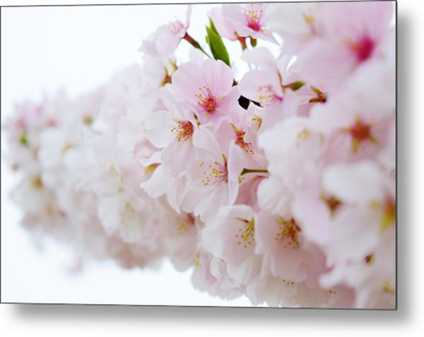 Cherry Blossom Focus Metal Print