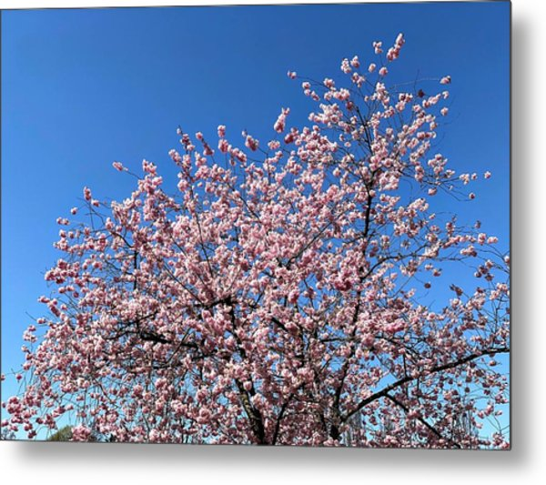 Cherry Blossom Pink And Blue Spring Colors Metal Print