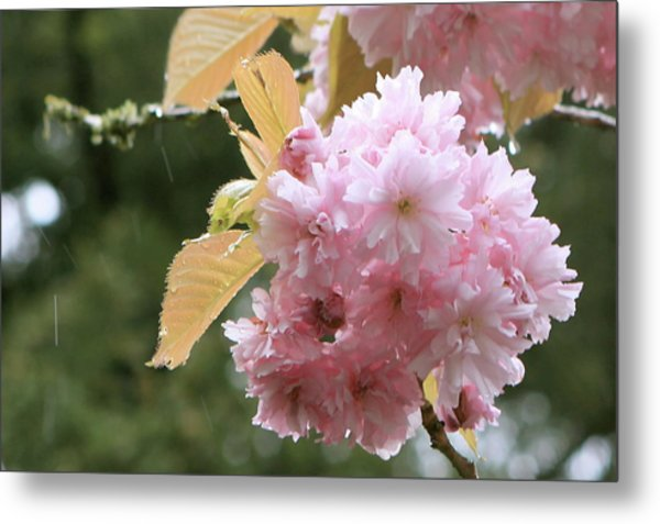 Metal Print featuring the photograph Cherry Blossom Secrets by Brandy Little