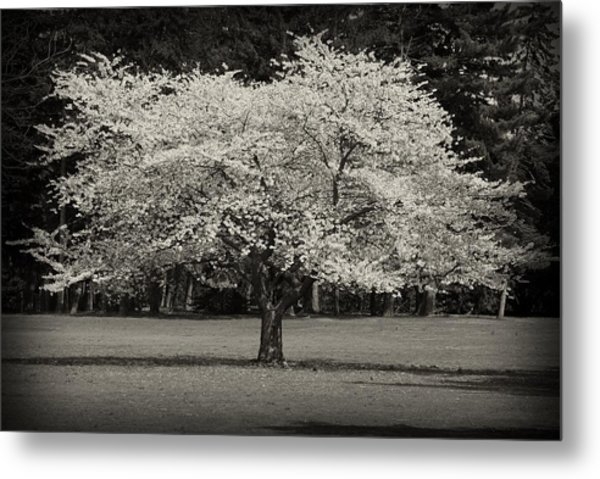Cherry Blossom Tree - Ocean County Park Metal Print