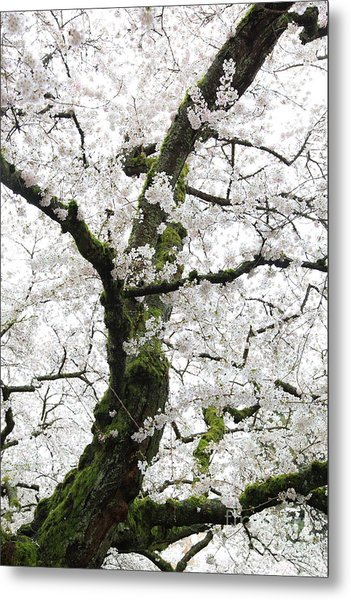 Cherry Blossoms 119 Metal Print