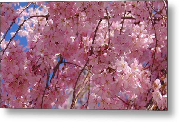 Cherry Blossoms Metal Print