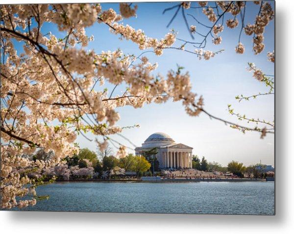 Cherry Blossoms Metal Print by Robert Davis