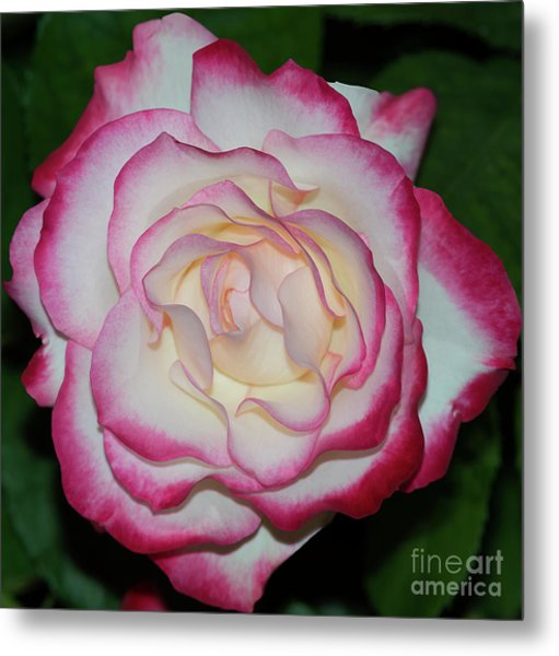 Cherry Parfait Rose 1 Metal Print