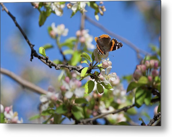 Monarch Butterfly On Cherry Tree Metal Print