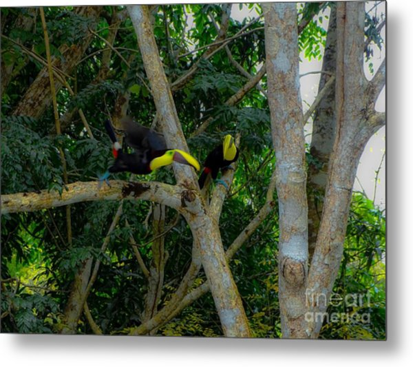 Chestnut-mandibled Toucans Metal Print