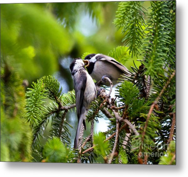 Chickadee Feeding Time Metal Print