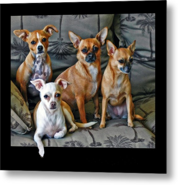 Chihuahuas Hanging Out Metal Print