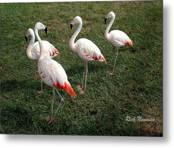 Chilean Flamingos Metal Print