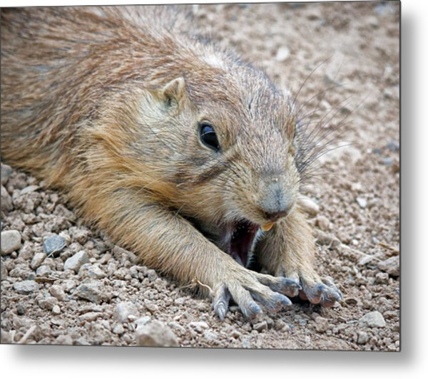 Chillin' Prairie Dog Metal Print