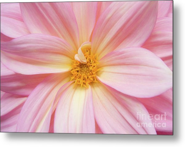 Chinese Chrysanthemum Flower Metal Print by Julia Hiebaum