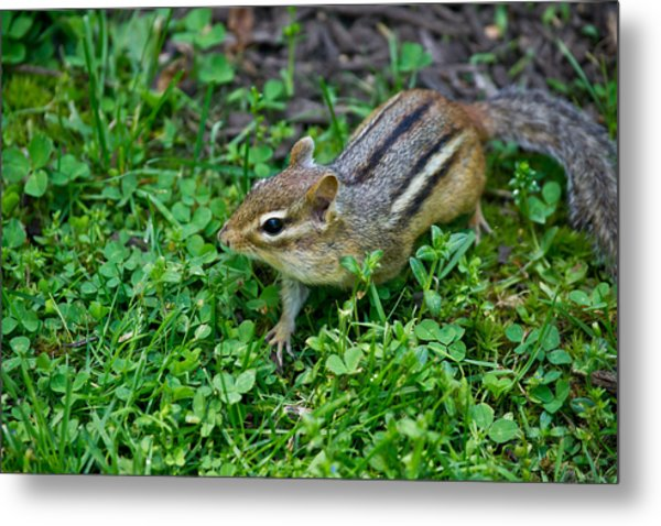 Chipmunk Metal Print by Edward Myers