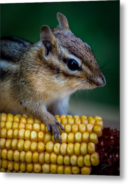 Chipmunk Goes Wild For Corn Metal Print