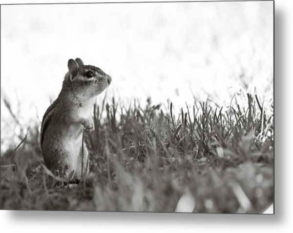 Chipmunk In Black And White Metal Print by Edward Myers