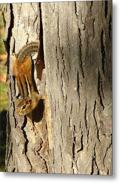 Chipmunk In Fall Metal Print