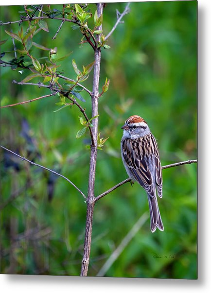 Chipping Sparrow Metal Print