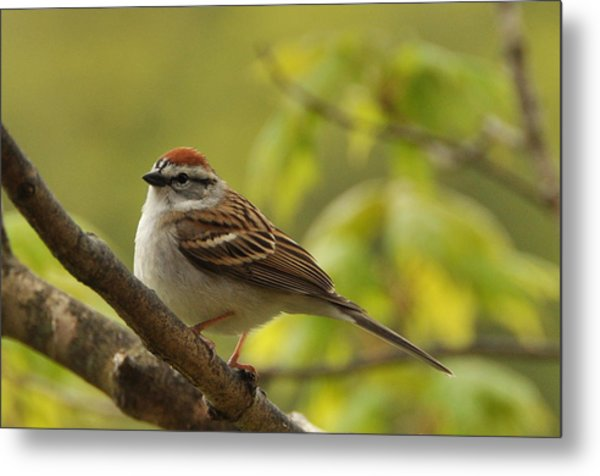 Chipping Sparrow In Sugar Maple Metal Print