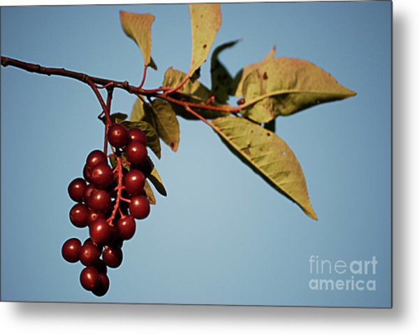 Choke Cherry Metal Print