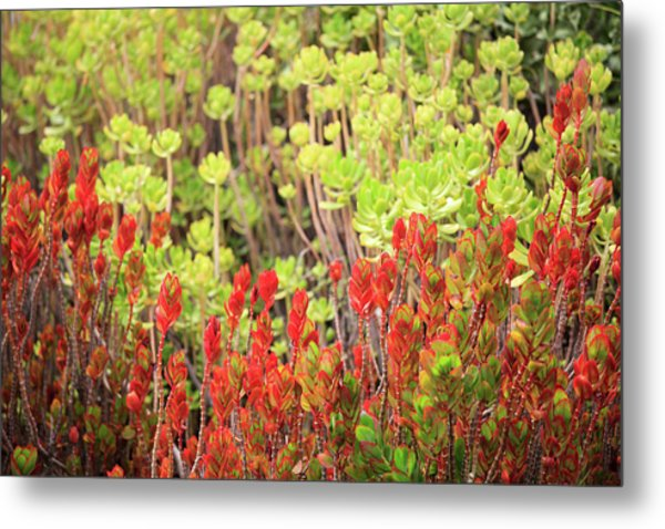 Metal Print featuring the photograph Christmas Cactii by David Chandler