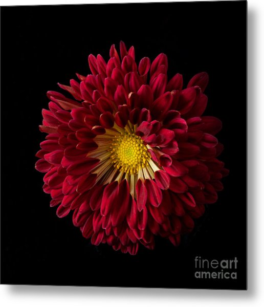 Chrysanthemum 'red Wing' Metal Print