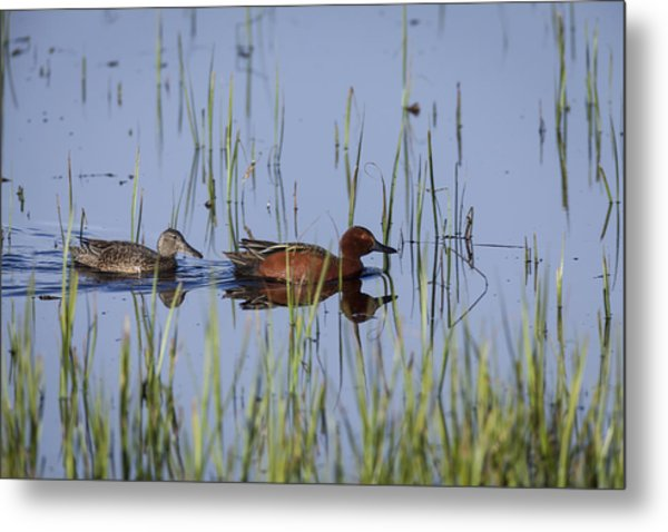 Cinnamon Teal Pair Metal Print