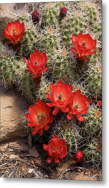 Claret Cup Cactus Metal Print