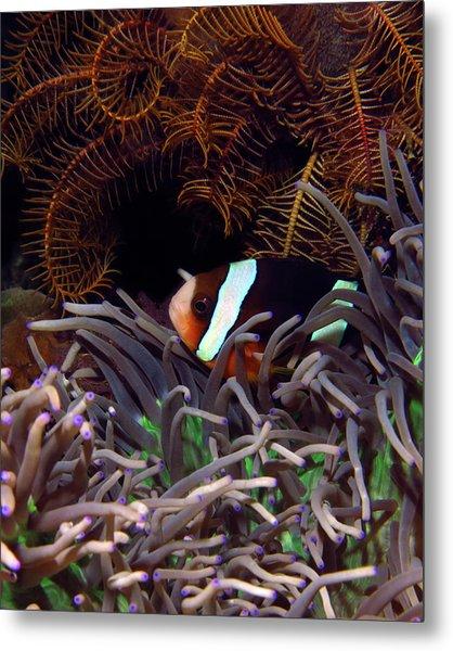 Clark's Anemonefish, Indonesia 2 Metal Print