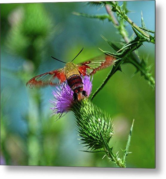Clearwing Hummingbird Moth Metal Print