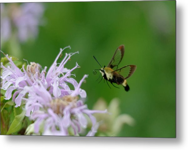 Clearwing Moth Metal Print