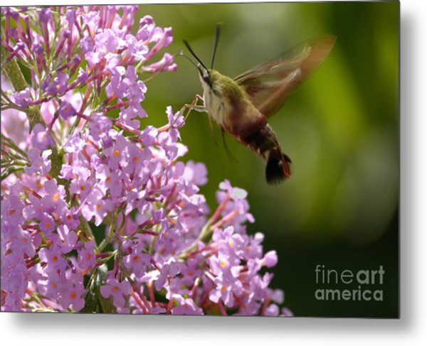 Clearwing Pink Metal Print