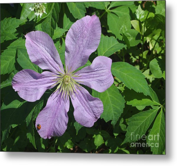Clematis With Lady Bug Metal Print