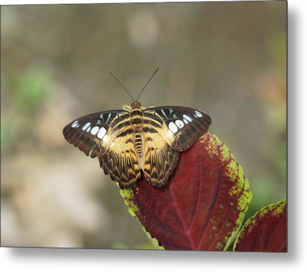 Metal Print featuring the photograph Clipper Butterfly by Paul Gulliver