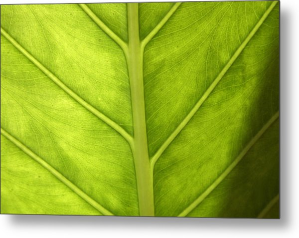 Close-up Of A Elephant Ear Metal Print