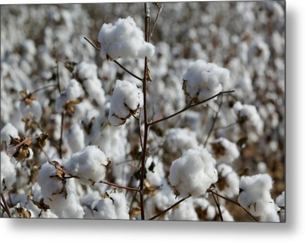 Close-up Of Cotton Plants In A Field Metal Print