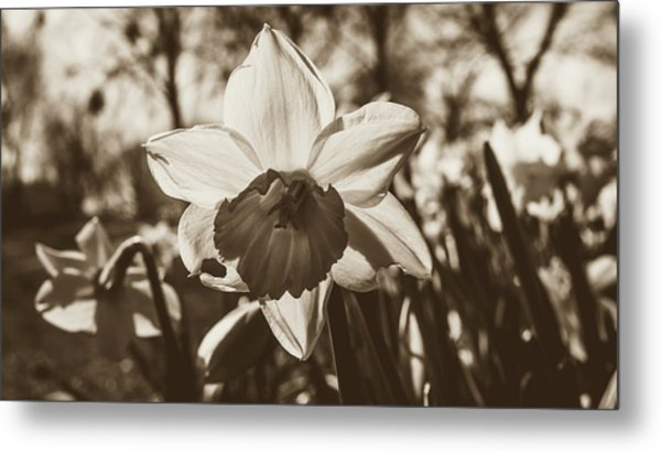 Metal Print featuring the photograph Close Up Of Daffodil Flower by Jacek Wojnarowski