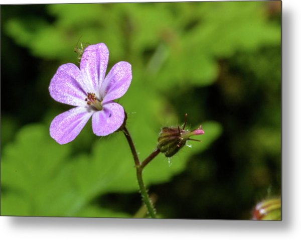 Close Up Of Shining Cranesbill A Metal Print