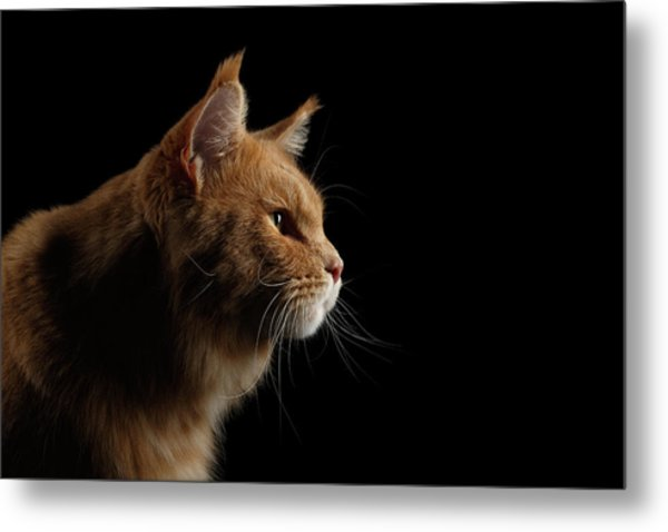 Close-up Portrait Ginger Maine Coon Cat Isolated On Black Background Metal Print