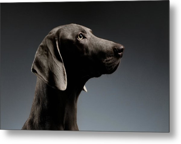 Close-up Portrait Weimaraner Dog In Profile View On White Gradient Metal Print