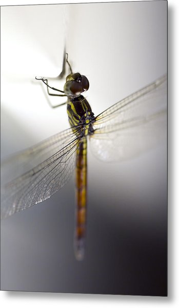 Close Up Shoot Of A Anisoptera Dragonfly Metal Print