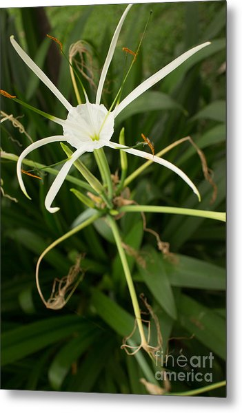 Close Up White Asian Flower With Leafy Background, Vertical View Metal Print