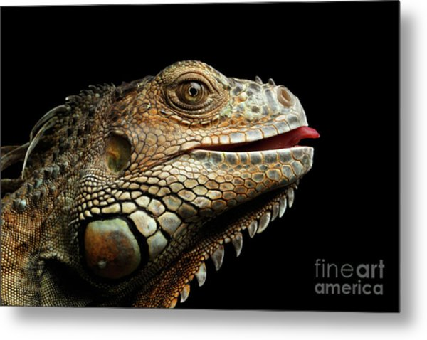 Close-upgreen Iguana Isolated On Black Background Metal Print