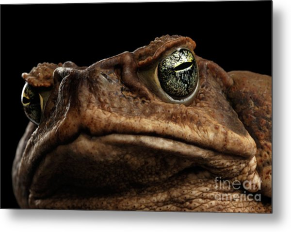 Closeup Cane Toad - Bufo Marinus, Giant Neotropical Or Marine Toad Isolated On Black Background Metal Print