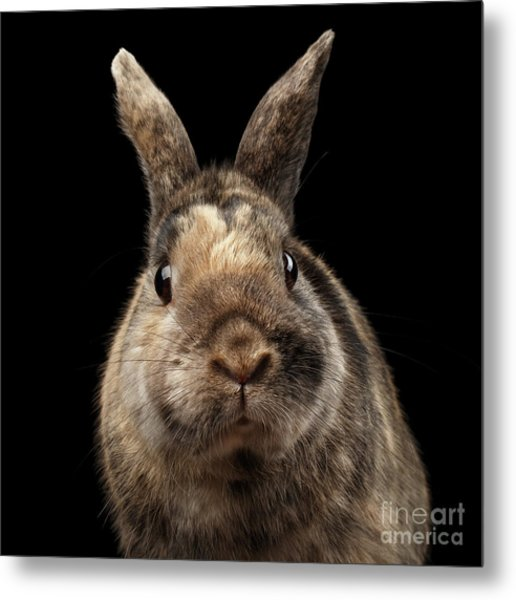 Closeup Funny Little Rabbit, Brown Fur, Isolated On Black Backgr Metal Print