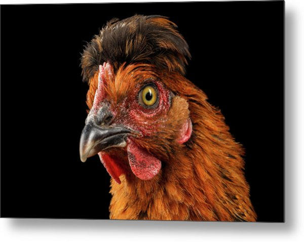 Closeup Ginger Chicken Isolated On Black Background In Profile View Metal Print