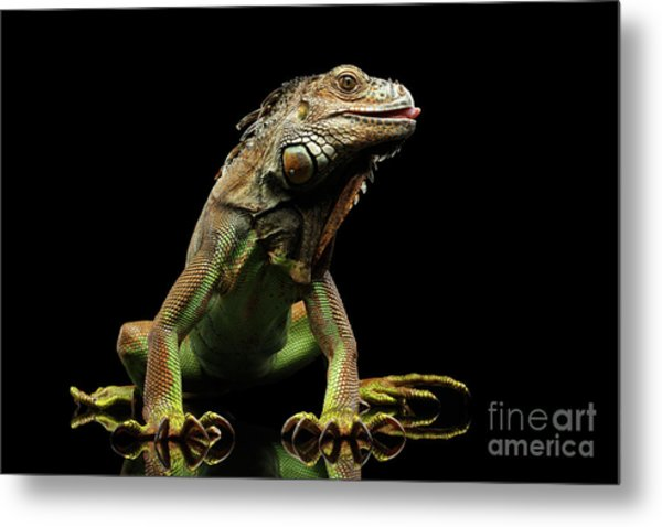 Closeup Green Iguana Isolated On Black Background Metal Print