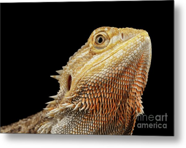 Closeup Head Of Bearded Dragon Llizard, Agama, Isolated Black Background Metal Print