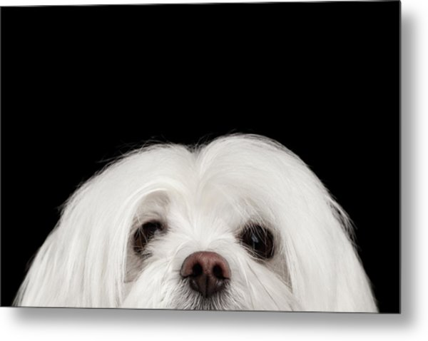 Closeup Nosey White Maltese Dog Looking In Camera Isolated On Black Background Metal Print
