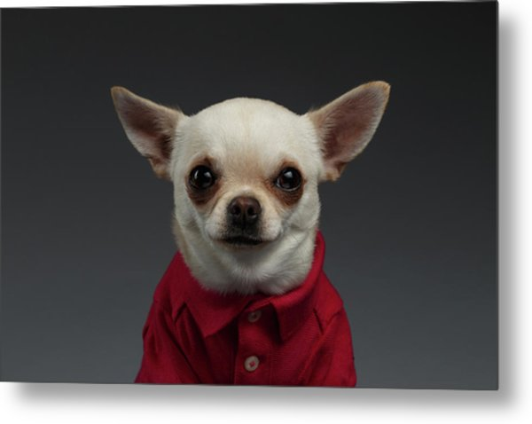 Closeup Portrait Chihuahua Dog In Stylish Clothes. Gray Background Metal Print