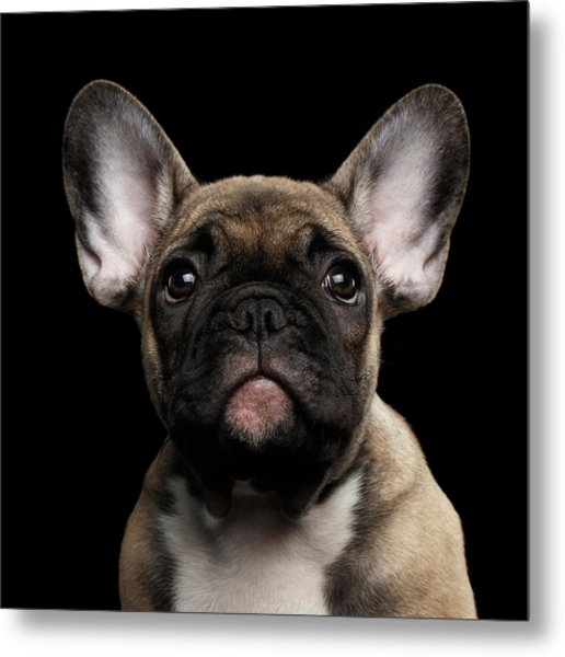 Closeup Portrait French Bulldog Puppy, Cute Looking In Camera Metal Print